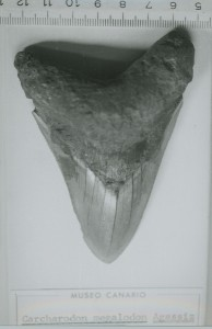 Carcharodon_megalodon_Agassiz_(Museo Canario)_a